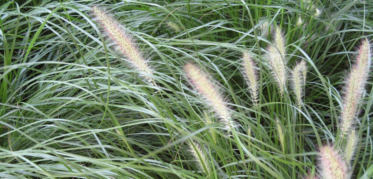 ornamental grass blowing in the breeze