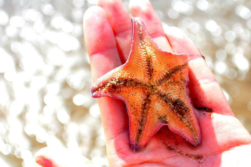 Belize starfish