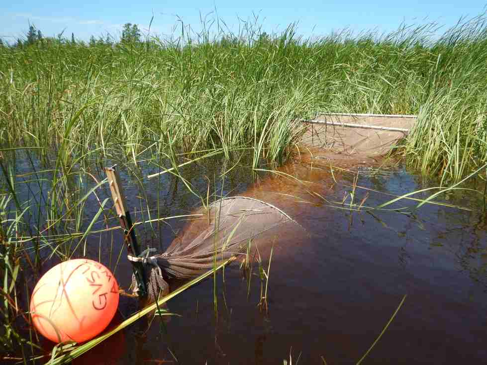 A fyke net is used to sample fish in a coastal wetland