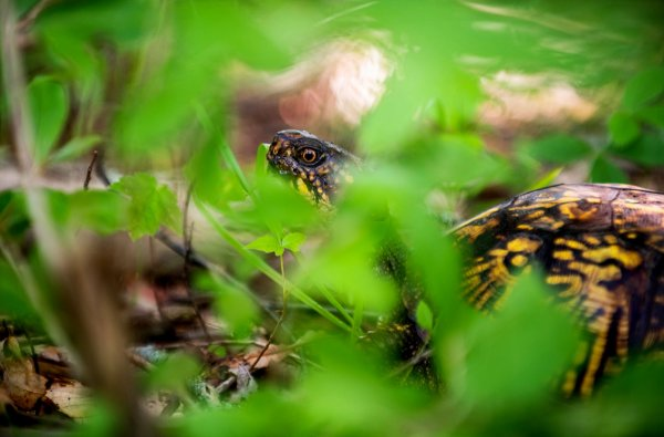 An adult Eastern box turtle
